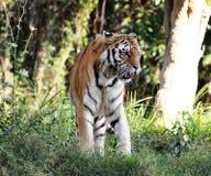 Panthera tigris altaica walking Stock Photos