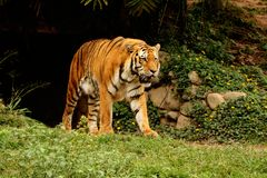 Panthera tigris altaica walking the zoo Stock Photography