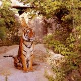 Panthera tigris. Big Tiger sitting in the bush Stock Photography