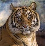 Panthera tigris de tigre de tigre Images stock