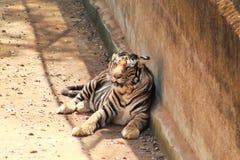 Panthera tigris eller tigrinna som vilar i en skugga royaltyfri foto