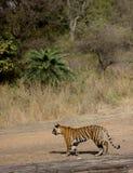 Panthera tigris tigris, kungliga Bengal Tiger Stalking arkivbilder