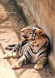Panthera tigris resting near a wall. Panthera tigris resting in a shadow place near a long wall royalty free stock photography