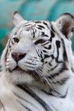 Panthera Tigris (Sorte alba), Bengal Tiger Lizenzfreie Stockfotos