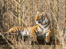 Resting sumatran tiger Stock Photos