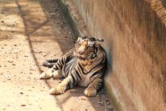 Panthera tigris or tigress resting in a shadow. Panthera tigris tiger resting in a shadow place near a long wall royalty free stock photo