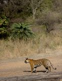 Panthera tigris tigris, Royal Bengal Tiger Stalking stock images