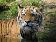 Panthera Tigris of tijger in water Stock Afbeelding