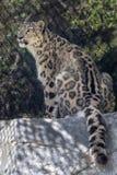 Panthera van de sneeuwluipaard uncial in dierentuin stock foto