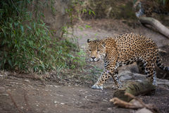 Panthera walk Royalty Free Stock Images