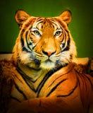Pantheraen tigris tigris för Bengal tiger Arkivfoto