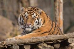 Pantheratigris för Siberian tiger altaica arkivbilder