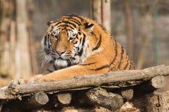 Pantheratigris för Siberian tiger altaica Arkivbild