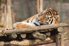 Pantheratigris för Siberian tiger altaica arkivfoton