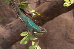Pantherchamäleon Furcifer-pardalis von Madagaskar, gehockt auf einer Niederlassung lizenzfreies stockbild