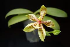 Pantherina van Phalaenopsis Royalty-vrije Stock Foto