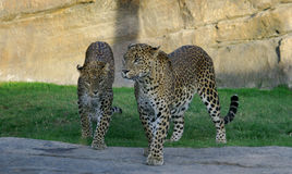 Panthers in African safari Royalty Free Stock Photography