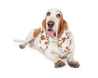 Panting Basset Hound Dog Laying. A Panting Basset Hound Dog laying at an angle while looking upwards royalty free stock images