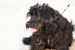Panting black long haired dog. Looking to its side Royalty Free Stock Images
