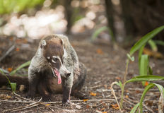 Panting Coati in Costa Rica. Closeup of Ring-tailed Coati (Nasua nasua) with an open mouth panting in the heat of Costa Rica Royalty Free Stock Photo