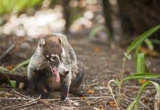 Free Panting Coati In Costa Rica Royalty Free Stock Photo - 20239545