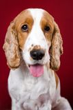 Panting Cocker Spaniel. Stock Photography