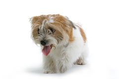 Panting Dog Royalty Free Stock Photos