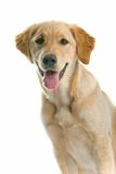 Panting dog Stock Photos
