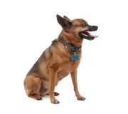 Panting dog Stock Photography