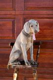 Panting dog on chair Royalty Free Stock Photos