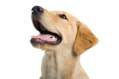 Panting dog's head Stock Photography