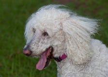 Panting dog Stock Photos