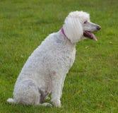Panting dog Royalty Free Stock Photography