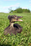 Panting Duck Stock Images