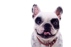 Panting French Bulldog Stock Image