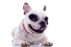 Panting French bulldog Stock Images