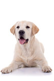 Panting labrador retriever Stock Photo