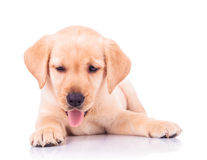 Panting labrador retriever puppy dog lying down Stock Images