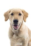 Panting large dog Stock Photography