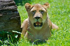 Panting Lion Royalty Free Stock Photo