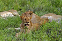 Panting Lioness Stock Photography