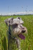Panting miniature schnauzer dog in grassy meadow. Panting miniature schnauzer dog sitting in a grassy meadow with blue skies and white fluffy clouds in the royalty free stock images