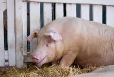 Panting pig in pen Stock Photos