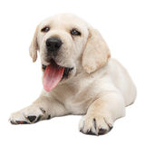 Panting puppy dog Royalty Free Stock Photo