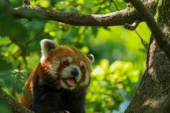 Panting red panda. A red panda so hot and bothered that he starts panting Stock Images