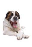 Panting Saint Bernard dog. Close up of panting Saint Bernard dog, isolated on white background Royalty Free Stock Images