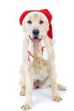 Panting santa claus labrador retriever dor sitting Royalty Free Stock Photo