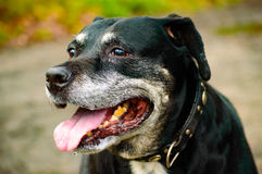 Panting staffordshire dog sitting outdoors. Single panting black and gray staffordshire dog with yellow teeth and collar sitting outdoors Royalty Free Stock Photo