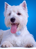 Panting westie Royalty Free Stock Photo