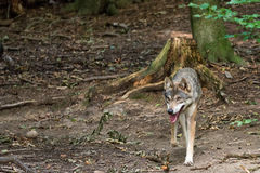 Panting wolf running around. A wolf running around the forest Stock Image